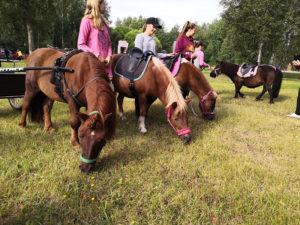 Neljä ponia syömässä ruohoa hoitajansa vierellään Vekkulit Vestarit -tapahtumassa